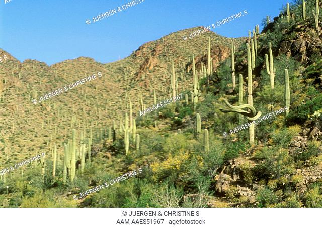 Sonora Desert in early Summer with Saguaro Cacti, AZ