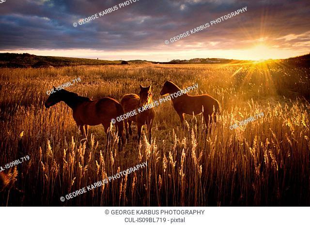Three horses in field at sunset, Doolin, Clare, Ireland