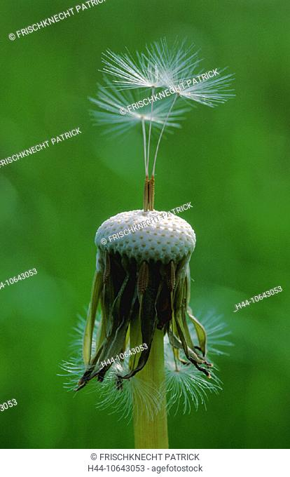 10643053, flower, blossom, flourish, blossoms, flourishes, botany, Close up, Dandelion, detail, three, withers individual, fli