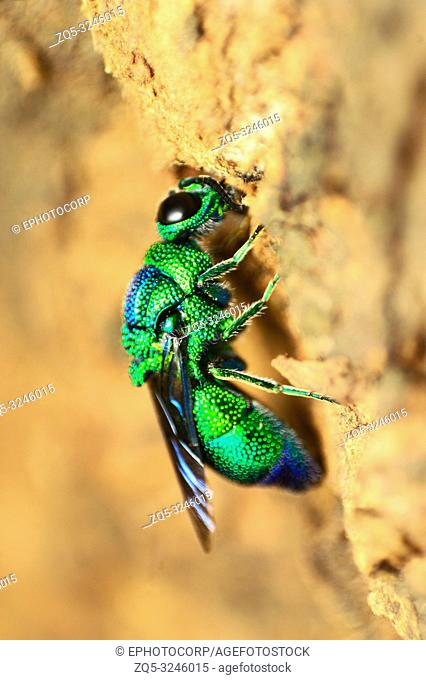 Cuckoo wasp, Chrysididae family, Pune, Maharashtra, India