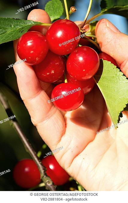 Cherries, Marion County, Oregon