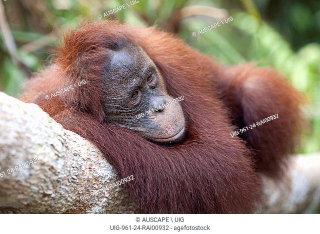 Bornean orangutan, Pongo pygmaeus, resting stretched out along tree branch. Camp Leakey, Tanjung Putung National Park, Kalimantan, Borneo, Indonesia