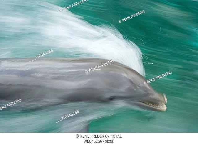 Bottlenose Dolphins (Tursiops truncatus) Caribbean Sea near Roatan, Honduras