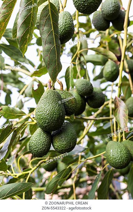 Avocado trees in La Palma, Canary Islands, Spain