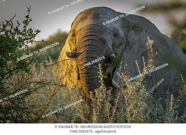 Portrait of Elephant at sunset, Etosha National Park, Namibia, Africa