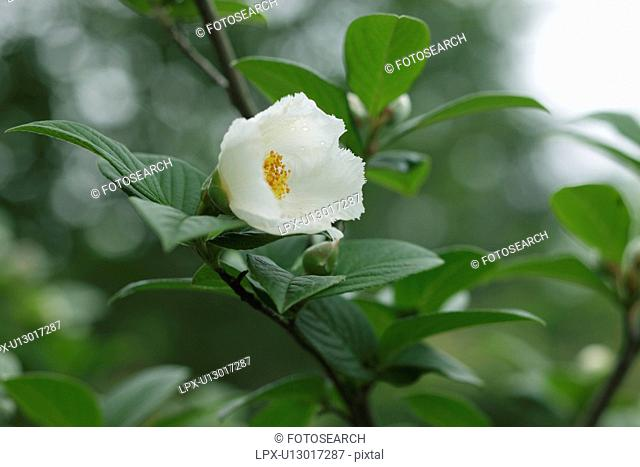 Japanese Stewartia Stewartia pseudocamellia, Gunma Prefecture, Honshu, Japan