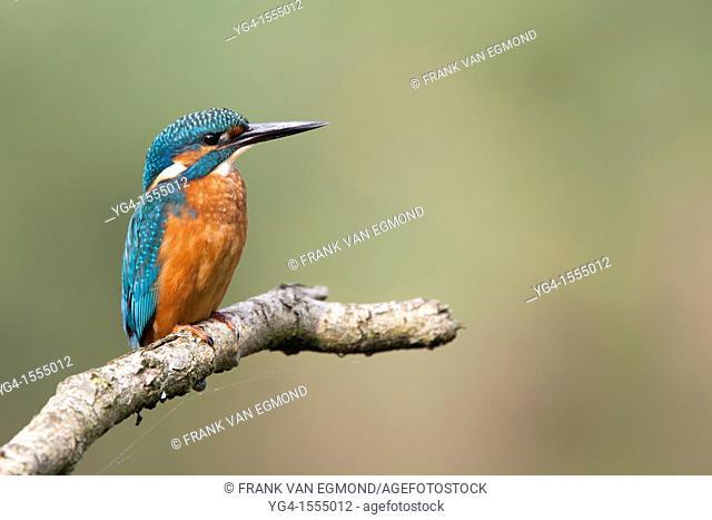 Common Kingfisher Alcedo atthis. Oostvaardersplassen, The Netherlands