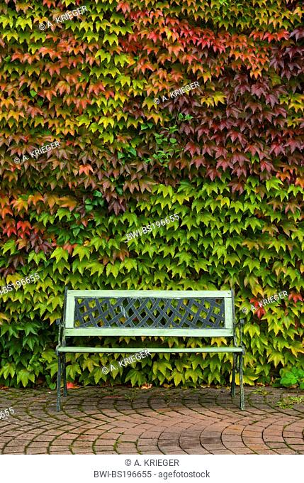 Boston ivy, Japanese creeper (Parthenocissus tricuspidata), sitting bench in front of a wall overgrown with Boston Ivy in autumn colouration, Germany, Saarland