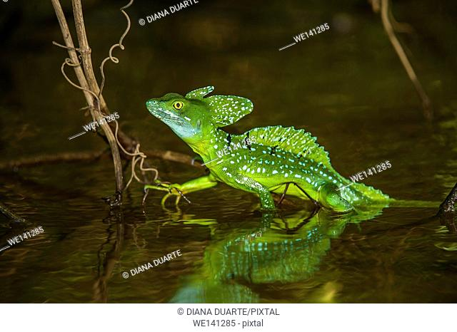 """""""""""Basiliscus"""" (Basiliscus plumifrons), The lizard runs on only its hind legs in an erect position, holding its arms to its sides"