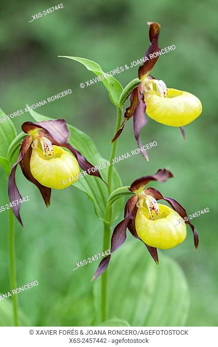 Lady's-slipper orchid - Cypripedium Calceolus -, Parc Naturel de la Chartreuse, Savoie, Rhône-Alpes, France