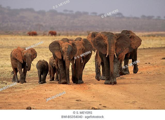 African elephant (Loxodonta africana), herd of elephants after a mud bath, Kenya, Tsavo East National Park