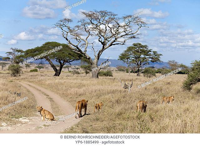 pride of Lions Panthera leo in savannah, Serengeti National Park, Tanzania