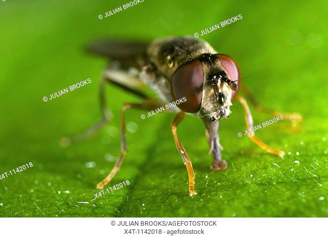 Extreme close up of the head of the syrphid or hover fly, Eupeodes luniger, feeding on a leaf