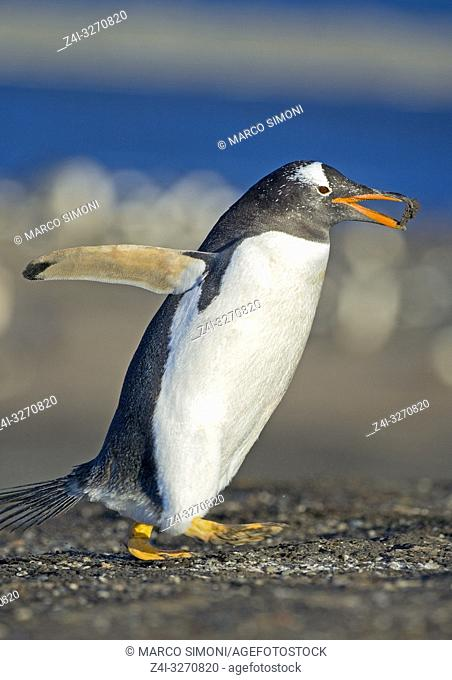 Gentoo penguin (Pygocelis papua papua) carrying nesting material, Falkland Islands, South Atlantic, South America