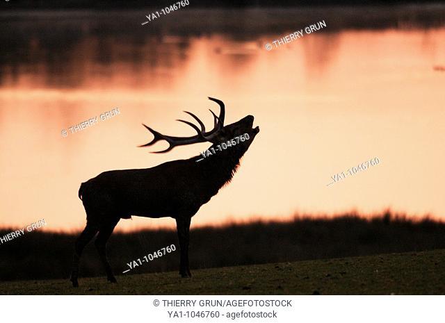 Red deer male (Cervus elaphus) roaring in the morning light near a lake. Moselle, Lorraine, France