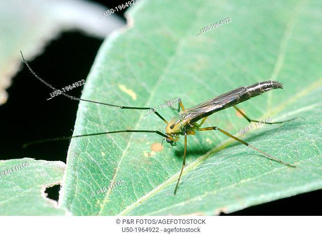 Midge on a leaf. (Chironomidae, Diptera)