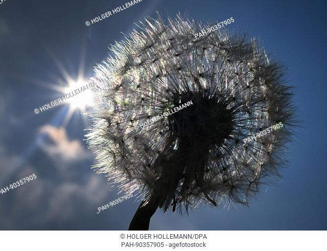 A whithered dandelion with its hairy parachutes under the sunlight pictured at the edge of a field north of Hanover, Germany, 03 May 2017