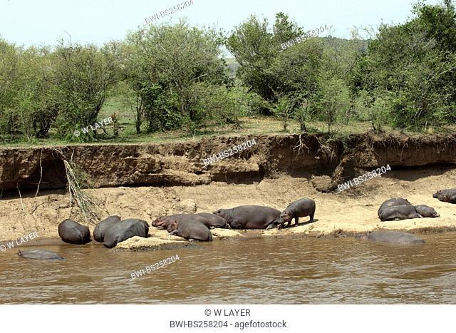 hippopotamus, hippo, Common hippopotamus Hippopotamus amphibius, herd resting at a riverside, Kenya, Masai Mara National Park