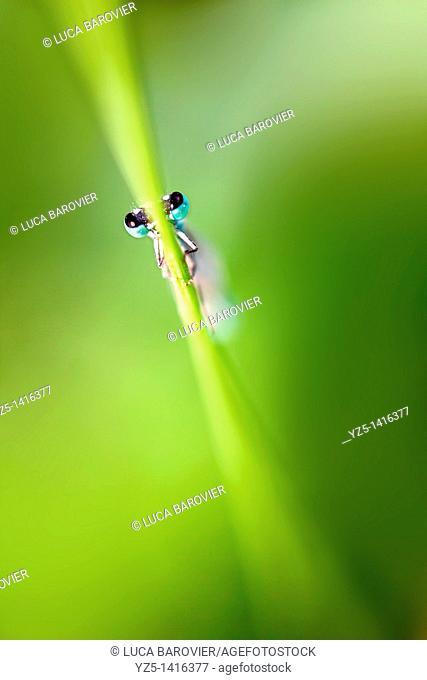 Ischnura elegans - Blue tailed damselfly