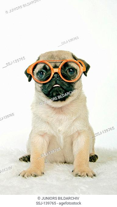 young pug with glasses