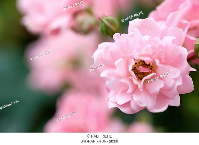 Rosafarbene Pfingstrose