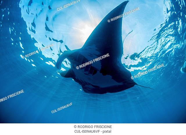 Underwater view of silhouetted giant manta sunbathing, Isla Mujeres, Quintana Roo, Mexico