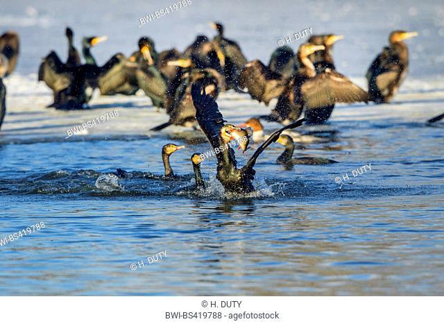 great cormorant (Phalacrocorax carbo), cormorants fighting for a perch, Germany, Mecklenburg-Western Pomerania