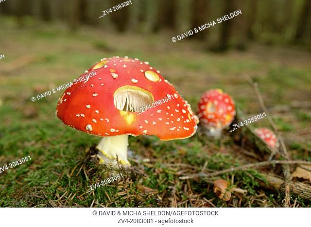 Close-up of a fly agaric or fly amanita (Amanita muscaria) mushroom on the forest floor in autumn, Upper Palatinate, Bavaria, Germany