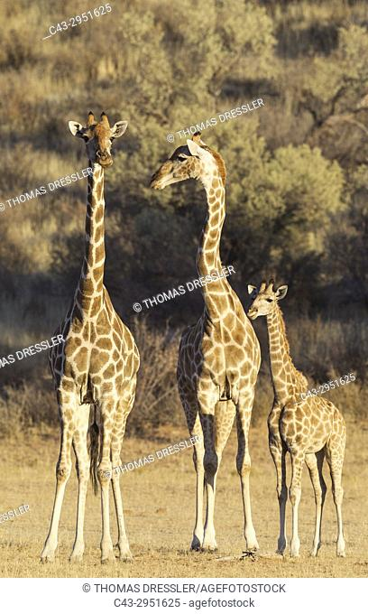 Southern Giraffe (Giraffa giraffa). Two females with young. Kalahari Desert, Kgalagadi Transfrontier Park, South Africa