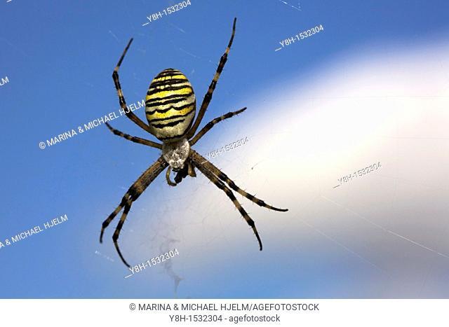 Black-and-Yellow Garden Spider, Schleswig-Holstein, Germany