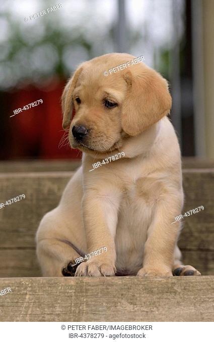 Yellow Labrador Retriever puppy sitting on step