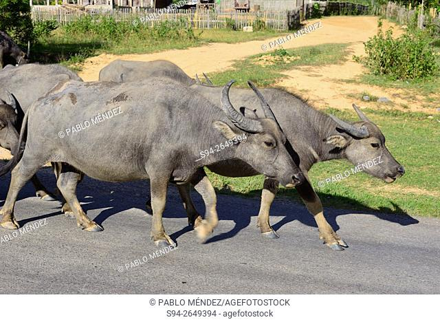 Asiatic cows walking near Latngon in Xieng Khouang, Laos