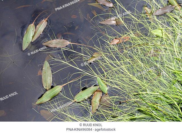 Floating Club-rush Scirpus fluitans - Leemputten Staverden, Staverden, Veluwe, Guelders, The Netherlands, Holland, Europe