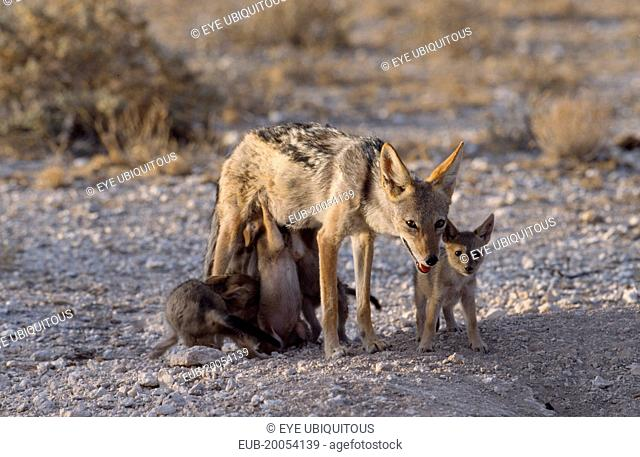 Black backed Jackal mother with suckling pups in the evening light