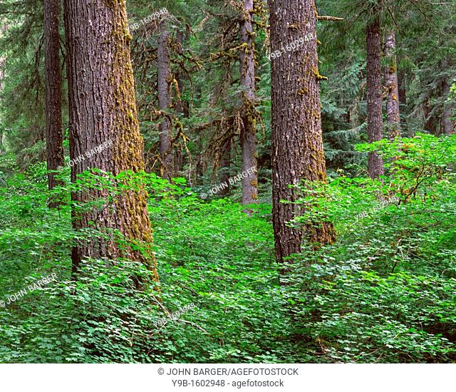 Springtime in old growth forest of Douglas fir and western hemlock with vine maple in the understory, Willamette National Forest, Oregon, USA
