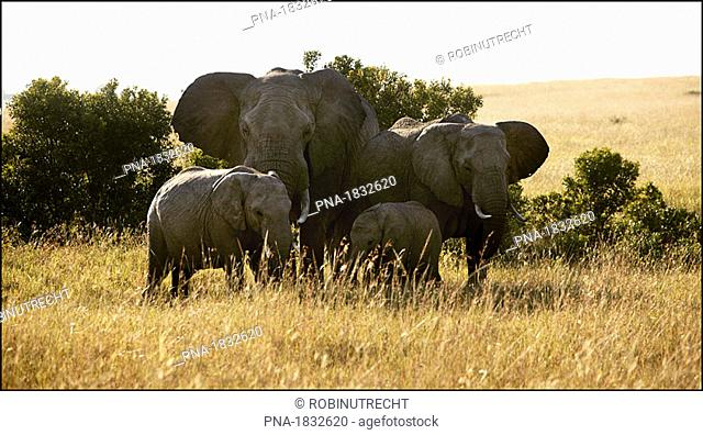 Group of elephants on the Serengeti plains of Masai Mara Game Reserve Park, Kenya