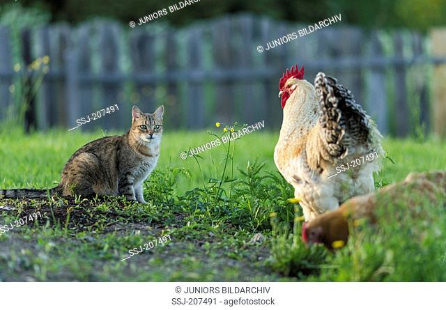 Niederrheiner Chicken. Cock meeting tabby domestic cat on a meadow. Germany