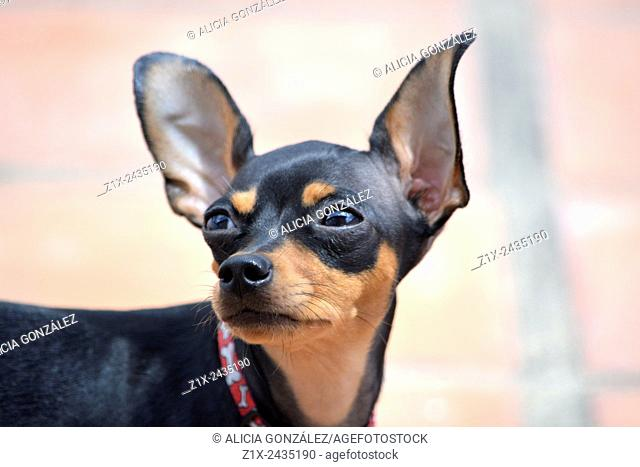 Mini pinscher dog close up