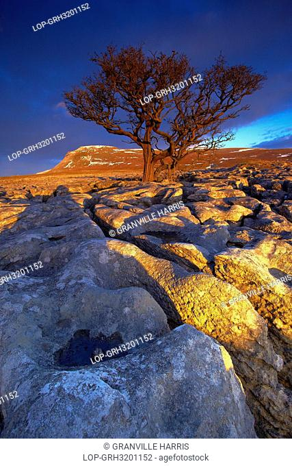 England, North Yorkshire, Ingleton. Tree growing out of the White Scar limestone pavement with Ingleborough, the second highest mountain in the Yorkshire Dales...
