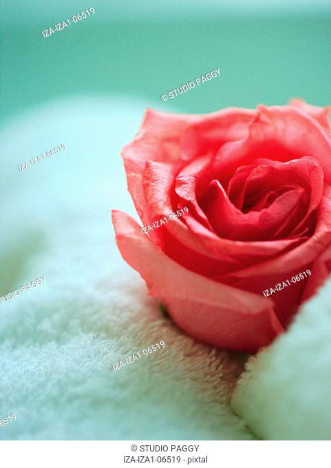 Close-up of a rose flower on a towel
