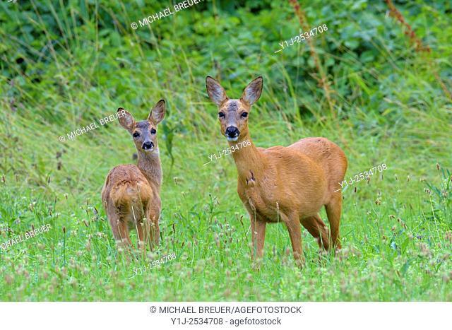 Western Roe Deer (Capreolus capreolus) in Meadow, Doe with Fawn, Hesse, Germany, Europe
