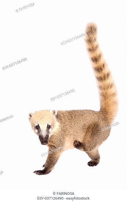 South American coati, Nasua nasua, baby isolated on white background