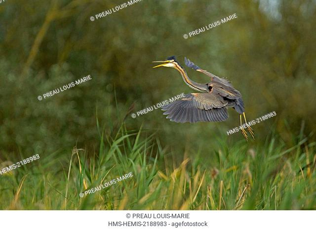 France, Vendee, Purple Heron (Ardea purpurea)