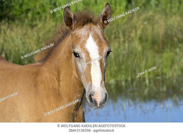 Portrait of a Camargue horse foal in the Camargue in southern France