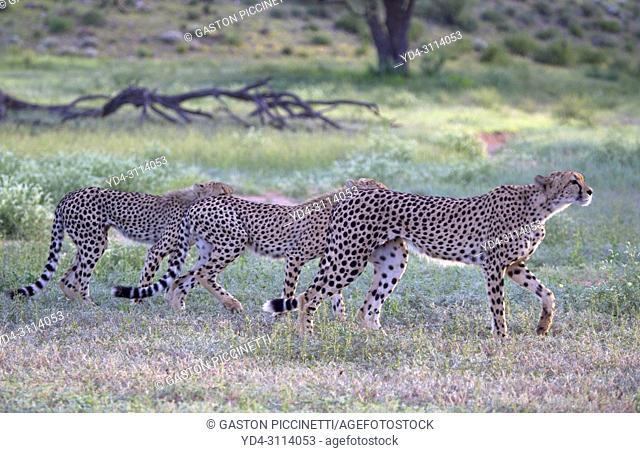 Cheetahs (Acinonyx jubatus), Kgalagadi Transfrontier Park, Kalahari desert, South Africa/Botswana