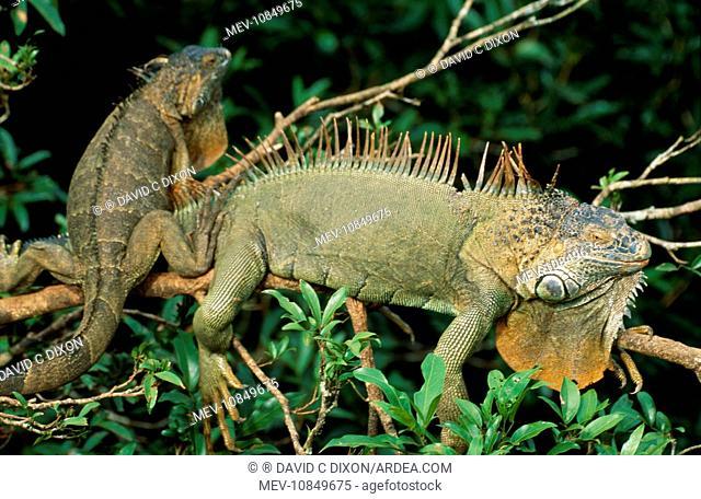 Common / Green Iguana (Iguana iguana). Alajuela, Costa Rica