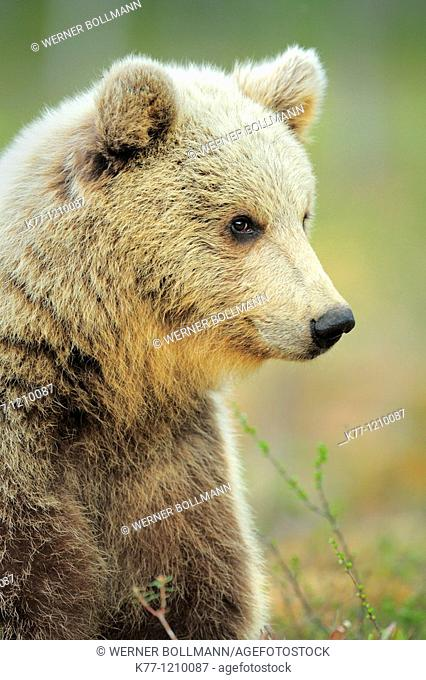European Brown Bear (Ursus arctos), older cub, Finland