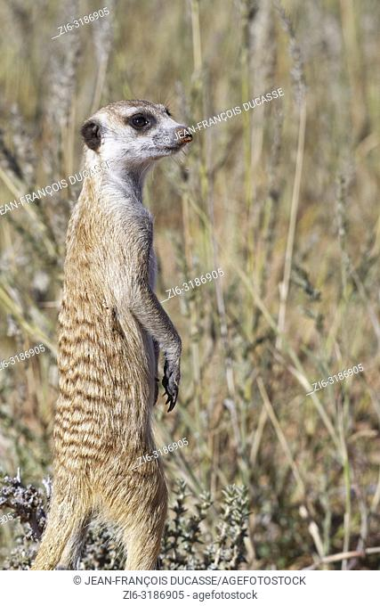Meerkat (Suricata suricatta), adult standing at the burrow, observing the surroundings, alert, Kgalagadi Transfrontier Park, Northern Cape, South Africa, Africa