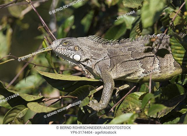 Green iguana (Iguana iguana), adult in tree, Pantanal, Mato Grosso, Brazil