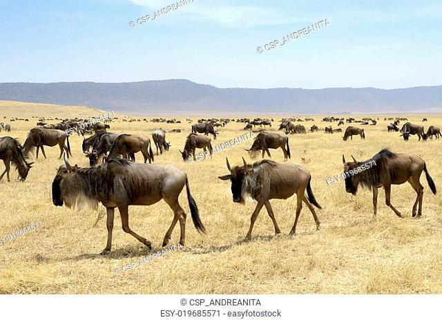 Wildebeest herd at the Ngorongor crater